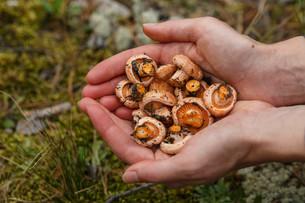 Handful of mushroomsの写真素材 [FYI00791133]