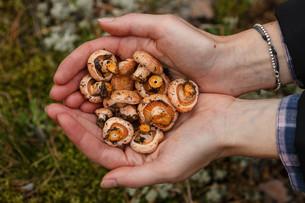 Handful of mushroomsの写真素材 [FYI00791138]
