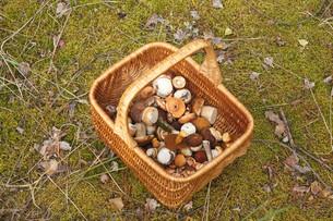 Basket with mushroomsの写真素材 [FYI00791148]