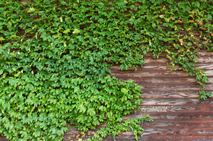 Old wooden wall with green creeper plantsの写真素材 [FYI00791718]