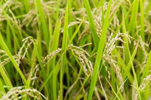Paddy riceの素材 [FYI00791728]