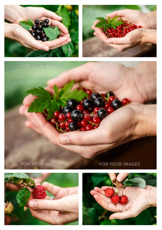 Berries pickingの素材 [FYI00791805]