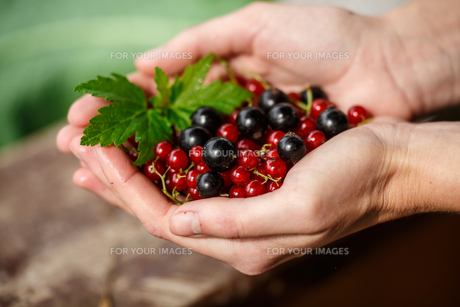 Currant berries picking. Locavore, clean eating,organic agriculture, local farming,growing,harvesting concept. Selective focus on topmost berryの写真素材 [FYI00792121]