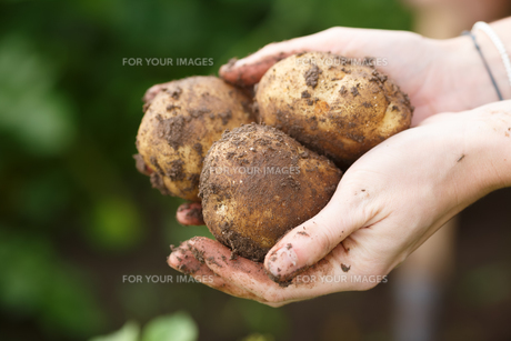 Potato harvesting. Female hands holding potatoes straight from the field. Locavore, clean eating,organic agriculture, local farming,growing concept. Selective focusの写真素材 [FYI00792146]