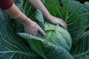 Cabbage harvestの写真素材 [FYI00792212]