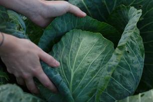 Cabbage harvestの写真素材 [FYI00792230]