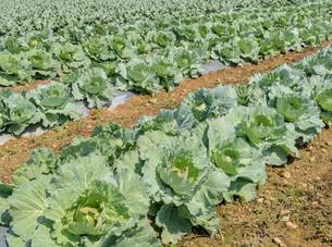 Green cabbage plantationの写真素材 [FYI00792328]