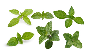Mint leaves collectionの素材 [FYI00792342]