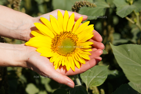 Woman holding sunflowerの写真素材 [FYI00792845]