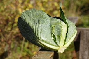 Cabbage harvestの写真素材 [FYI00792848]