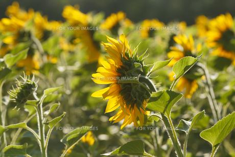 Sunflower fieldの写真素材 [FYI00792854]
