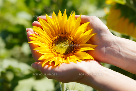 Woman holding sunflowerの写真素材 [FYI00792866]