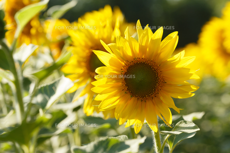 Sunflowerの写真素材 [FYI00792874]