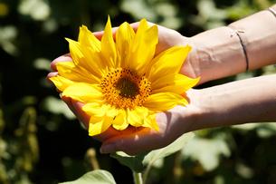 Woman holding sunflowerの写真素材 [FYI00792886]