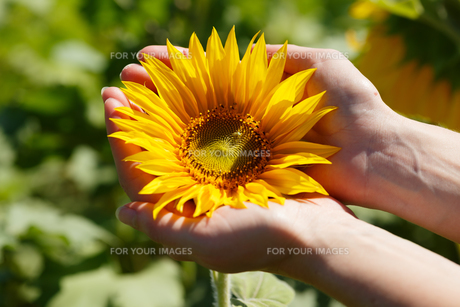 Woman holding sunflowerの写真素材 [FYI00792890]