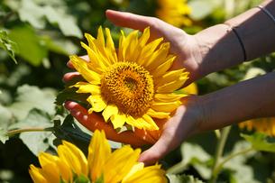 Woman holding sunflowerの写真素材 [FYI00792901]
