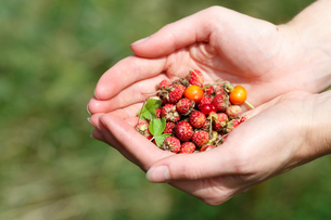 Handful of wildberriesの素材 [FYI00792908]