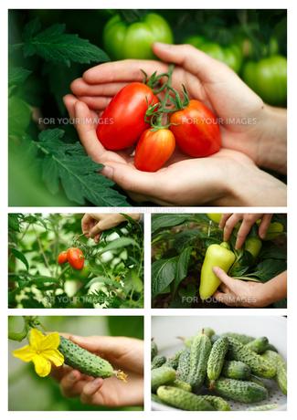 Vegetable harvestの写真素材 [FYI00792925]