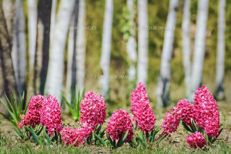 Hyacinthの写真素材 [FYI00793336]
