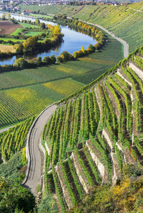 steep vineyards in the sunny autumn am neckar in germanyの写真素材 [FYI00793787]