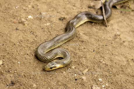 Natrix Maura snakeの写真素材 [FYI00793827]