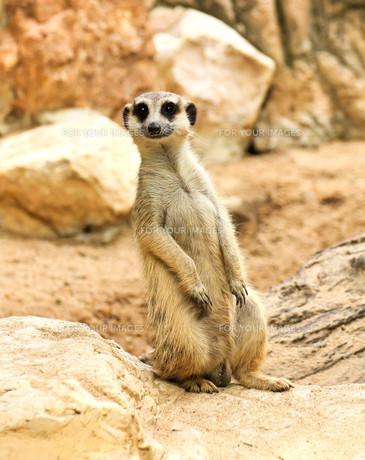 Meerkat in the zooの素材 [FYI00793939]