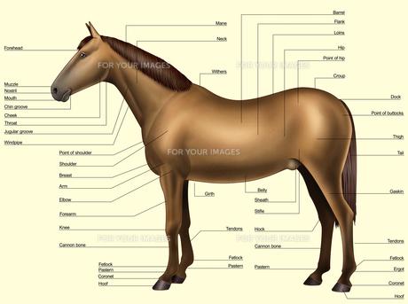 Horse anatomy - Body partsの写真素材 [FYI00794169]