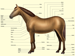 Horse anatomy - Body partsの写真素材 [FYI00794169]