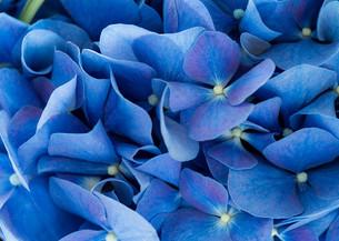Purple Hydrangea flowerの写真素材 [FYI00794510]
