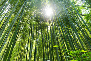 High Bamboo forestの素材 [FYI00794511]