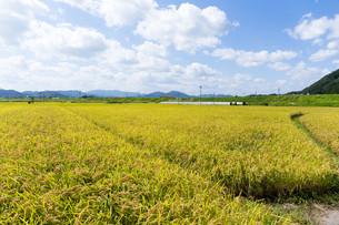 Golden rice field in Thailandの写真素材 [FYI00794547]