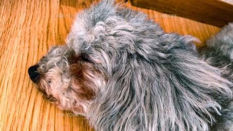 犬のお昼寝の写真素材 [FYI00795242]