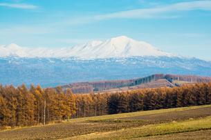 色づいたカラマツ林と雪山の写真素材 [FYI00795265]