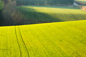 夕陽に光る秋まき小麦の畑の写真素材 [FYI00795274]
