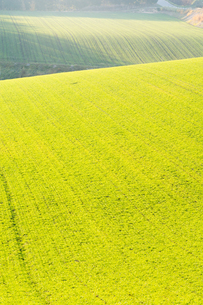 夕日を浴びて光る秋まき小麦の畑の写真素材 [FYI00795848]