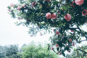 ピンクの花と緑の葉と木々。クラシックな雰囲気の写真素材 [FYI00796387]