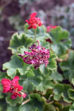 名もなき枯れた花の写真素材 [FYI00796758]