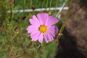咲き誇るコスモスの写真素材 [FYI00796759]