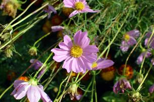 咲き誇るコスモスの写真素材 [FYI00796787]