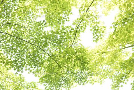 新緑のかえでの葉の写真素材 [FYI00796825]