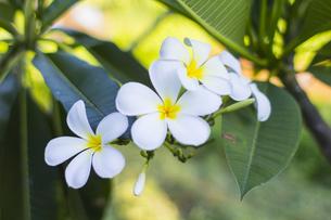 プルメリア  熱帯植物の写真素材 [FYI00796837]
