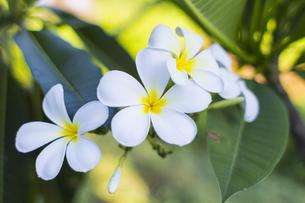 プルメリア  熱帯植物の写真素材 [FYI00796838]