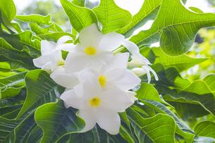 プルメリア  熱帯植物の写真素材 [FYI00796840]