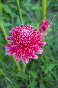トーチジンジャー  熱帯植物の写真素材 [FYI00796841]