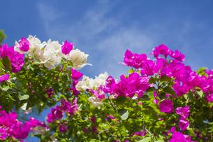 ブーゲンビリア  熱帯植物の写真素材 [FYI00796843]