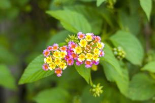 ランタナ 熱帯植物の写真素材 [FYI00796847]