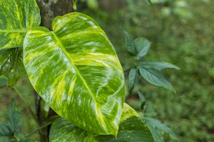 熱帯植物バックグラウンドの写真素材 [FYI00796850]