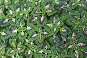 コリウス 熱帯植物バックグラウンドの写真素材 [FYI00796851]