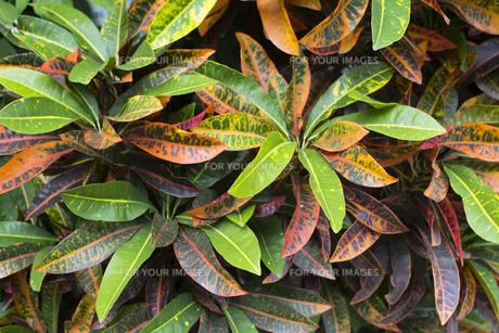 ペトラクロトン 熱帯植物バックグラウンドの写真素材 [FYI00796856]