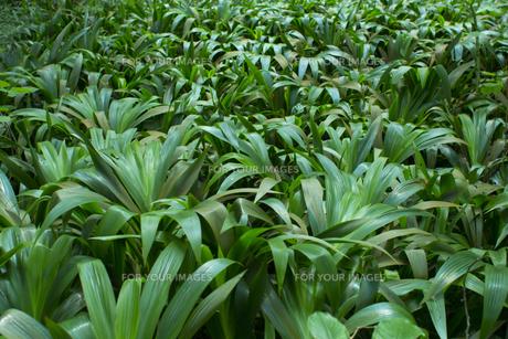 熱帯植物バックグラウンドの写真素材 [FYI00796860]
